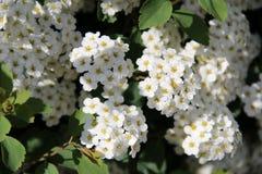 In bloei Stock Afbeelding