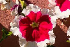 Bloei een petunia Royalty-vrije Stock Fotografie