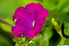 Bloei een petunia Stock Foto
