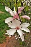 Bloei op Roze Tulip Tree Magnolia Campbellii Stock Foto