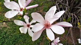Bloei op Roze Tulip Tree Magnolia Campbellii Stock Fotografie