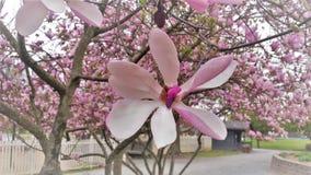 Bloei op Roze Tulip Tree Magnolia Campbellii Royalty-vrije Stock Afbeelding