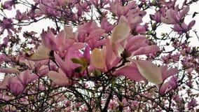 Bloei op Roze Tulip Tree Magnolia Campbellii Stock Foto's