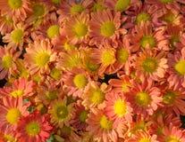 Bloei oranje bloemen Stock Afbeeldingen