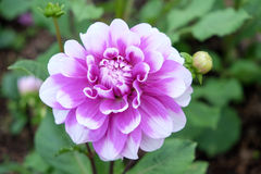 Bloei roze bloem Stock Afbeelding