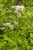 Bloei van Akelei weide-rue, Thalictrum-aquilegifolium, macro, selectieve nadruk, ondiepe DOF stock afbeeldingen
