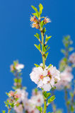Het roze en witte de lente bloeien Stock Fotografie