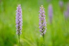 Bloei van densiflora van orchideegymnadenia Stock Foto