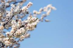 Bloei van fruitbomen in de lente dichte omhooggaand tegen de blauwe hemel royalty-vrije stock afbeeldingen