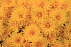 Bloei van Gele Daling Autumn Mums Stock Afbeelding
