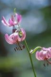 Bloei van Martagon-Lelie, (Lilium martagon) Stock Foto