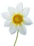 Bloei witte bloemblaadjes royalty-vrije stock foto