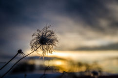 Bloei in zonsondergang Stock Foto