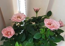 Bloeiden de Rosé Roze Rozen Royalty-vrije Stock Fotografie