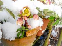 Bloeien hellebores behandeld in sneeuw royalty-vrije stock foto