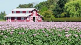 Bloeiend Aardappelgebied in een Wind 4K UHD stock video