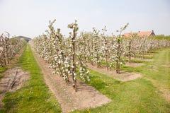 Bloeiend appelboomgaard en landbouwbedrijfhuis stock fotografie
