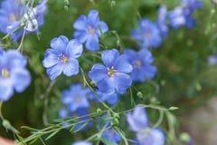 Bloeiend blauw vlas Royalty-vrije Stock Afbeelding