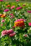 Bloeiend bloembed met bloemen van zinia in een landelijke tuin De natuurlijke achtergrond van de Zomer stock afbeeldingen
