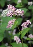 Bloeiend boekweitgebied met violette bloemen Stock Afbeeldingen