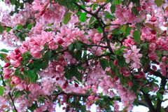 Bloeiend Cherry Blossom Tree Royalty-vrije Stock Fotografie
