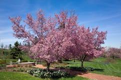 Bloeiend Cherry Tree Stock Afbeeldingen