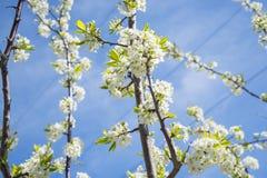 Bloeiend Crabapple-huis De Apple-boom bloeit witte bloemen stock afbeelding