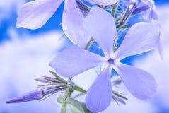 Bloeiend de wilde blauwe flox, of bosflox, of wilde zoete William royalty-vrije stock afbeeldingen