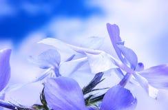 Bloeiend de wilde blauwe flox, of bosflox, of wilde zoete William royalty-vrije stock foto