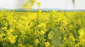Bloeiend Gebied Canola Verkrachting op het gebied in de zomer Heldere Gele raapzaadolie Bloeiend raapzaad stock footage