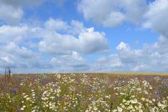 Bloeiend gebied met madeliefjes en korenbloemen Blauwe Hemel met Wolken Wildflowersachtergrond royalty-vrije stock foto's