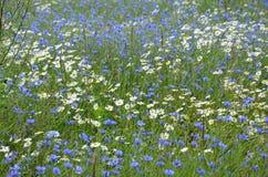 Bloeiend gebied met madeliefjes en korenbloemen Wildflowersachtergrond royalty-vrije stock foto