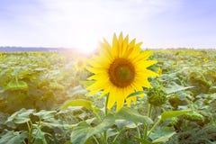 Bloeiend gebied van zonnebloemen Stock Fotografie