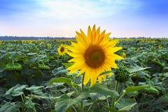 Bloeiend gebied van zonnebloemen Stock Afbeeldingen