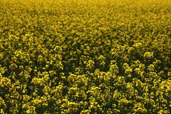Bloeiend geel gebied in de lente of de zomer, achtergrond royalty-vrije stock afbeelding