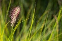 Bloeiend Gras Royalty-vrije Stock Foto's