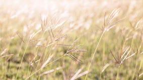 Bloeiend Gras Royalty-vrije Stock Afbeeldingen