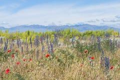 Bloeiend gras en rode papavers tegen de verre bergen Stock Fotografie