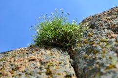 Bloeiend gras op rots Stock Fotografie