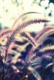 Bloeiend gras, uitstekend stijllicht. stock fotografie