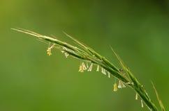 Bloeiend grassprietje op een gebied Stock Foto's