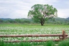 Bloeiend groen gebied met eenzame eiken boom achter houten omheining stock foto