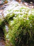 Bloeiend helder mos in de sneeuw op een logboekclose-up royalty-vrije stock foto's