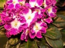 Bloeiend houseplants, bloemenviooltjes royalty-vrije stock afbeelding