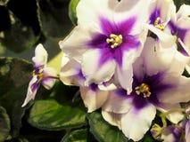 Bloeiend houseplants, bloemenviooltjes stock fotografie