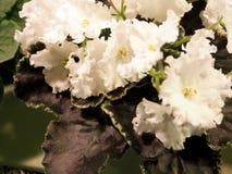Bloeiend houseplants, bloemenviooltjes royalty-vrije stock afbeeldingen