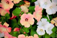 Bloeiend koraal en witte trimestris van bloemenlavatera (jaarlijkse ma stock foto's