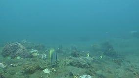 Bloeiend koraalrif levend met het mariene leven en ondiepten van vissen, Bali stock video