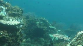 Bloeiend koraalrif levend met het mariene leven en ondiepten van vissen, Bali stock footage