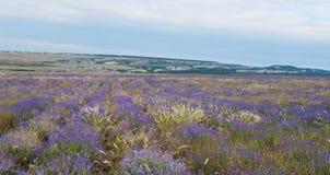 Bloeiend lavendelgebied, de Krim stock foto